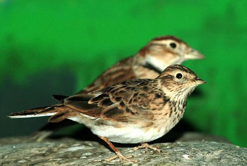 云雀PPT背景图片免费下载是由PPT宝藏(www.pptbz.com)会员zengmin上传推荐的物体PPT背景图片, 更新时间为2016-10-26,素材编号109094。 云雀属,共有4 个物种,是一类鸣禽。体型及羽色略似麻雀,雄性和雌性的相貌相似。背部花褐色和浅黄色,胸腹部白色至深棕色。外尾羽白色,尾巴棕色。后脑勺具羽冠,适应于地栖生活,腿、脚强健有力,后趾具1长而直的爪;跗跖后缘具盾状鳞;以植物种子、昆虫等为食,常集群活动;繁殖期雄鸟鸣啭洪亮动听,是鸣禽中少数能在飞行中歌唱的鸟类之一。 云雀(学名