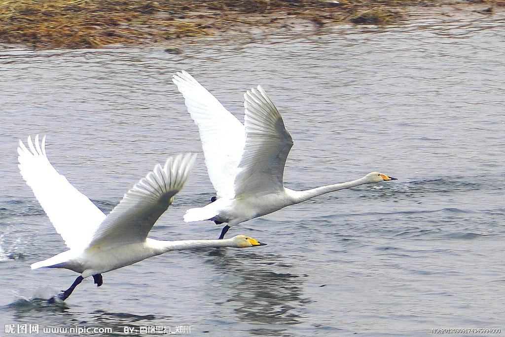 天鹅PPT背景图片免费下载是由PPT宝藏(www.pptbz.com)会员zengmin上传推荐的物体PPT背景图片, 更新时间为2016-10-13,素材编号105852。 天鹅指天鹅属(学名:Cygnus)的鸟类,共有7种,属游禽。除非洲、南极洲之外的各大陆均有分布。为鸭科中个体最大的类群。颈修长,超过体长或与身躯等长;嘴基部高而前端缓平,眼先裸露;尾短而圆,尾羽20~24枚;蹼强大,但后趾不具瓣蹼。喜欢群栖在湖泊和沼泽地带,主要以水生植物为食,也吃螺类和软体动物。多数是一夫一妻制,相伴终生。求偶的行