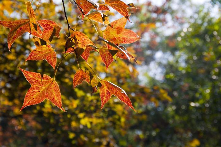 枫香PPT背景图片免费下载是由PPT宝藏(www.pptbz.com)会员zengmin上传推荐的物体PPT背景图片, 更新时间为2016-10-26,素材编号109183。 枫香,又名枫香树,为金缕梅科落叶乔木植物,生于海拔220-2000米之丘陵及平原或山地常绿阔叶林中。喜温暖湿润气候,性喜光,幼树稍耐阴,耐干旱瘠薄土壤,不耐水涝。在湿润肥沃而深厚的红黄壤土上生长良好。深根性,主根粗长,抗风力强,不耐移植及修剪。种子有隔年发芽的习性,不耐寒,黄河以北不能露地越冬,不耐盐碱及干旱。树脂供药用,能解毒止痛