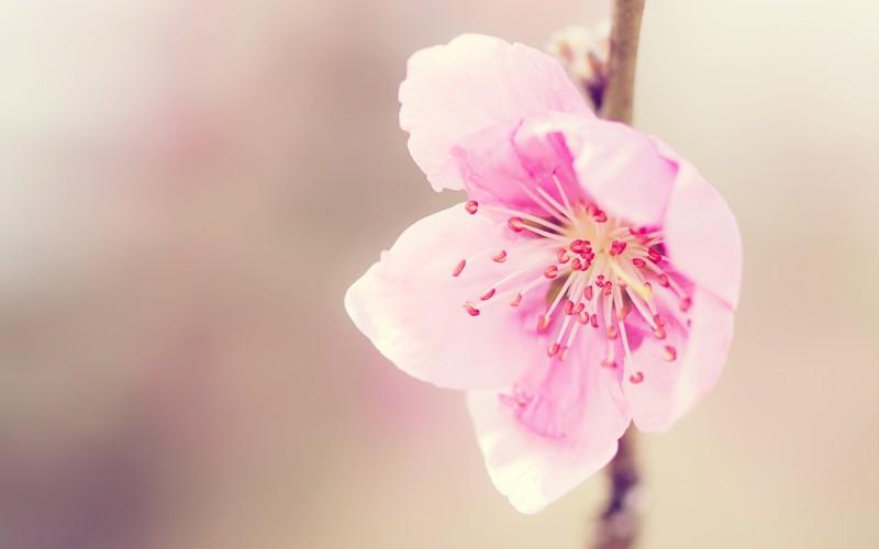 桃花PPT背景图片免费下载是由PPT宝藏(www.pptbz.com)会员zengmin上传推荐的物体PPT背景图片, 更新时间为2016-10-11,素材编号105510。 桃花,即桃树盛开的花朵,属蔷薇科植物。叶椭圆状披针形,核果近球形,主要分果桃和花桃两大类。桃花原产于中国中部、北部,现已在世界温带国家及地区广泛种植,其繁殖以嫁接为主。桃花可制成桃花丸、桃花茶等食品。其具有很高的观赏价值,是文学创作的常用素材。此外,桃花中元素有疏通经络、滋润皮肤的药用价值。其花语及代表意义为:爱情的俘虏。每年3~6
