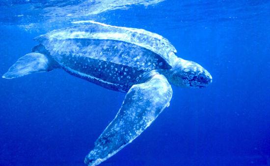 棱皮龟PPT背景图片免费下载是由PPT宝藏(www.pptbz.com)会员zengmin上传推荐的物体PPT背景图片, 更新时间为2016-10-08,素材编号105139。 棱皮龟(学名:Dermochelys coriacea),属棱皮龟科、棱皮龟属动物。棱皮龟体大,是龟鳖目中体型最大者,头大,颈、尾短,四肢桨状,无爪,前肢特别发达。棱皮龟属于变温的爬行动物,游泳迅速且能力极强,杂食性,每年5-6月之间产卵,一次产卵90-150枚,主要栖息于热带海域的中上层,分布于大西洋和太平洋海域。棱皮龟已列入《