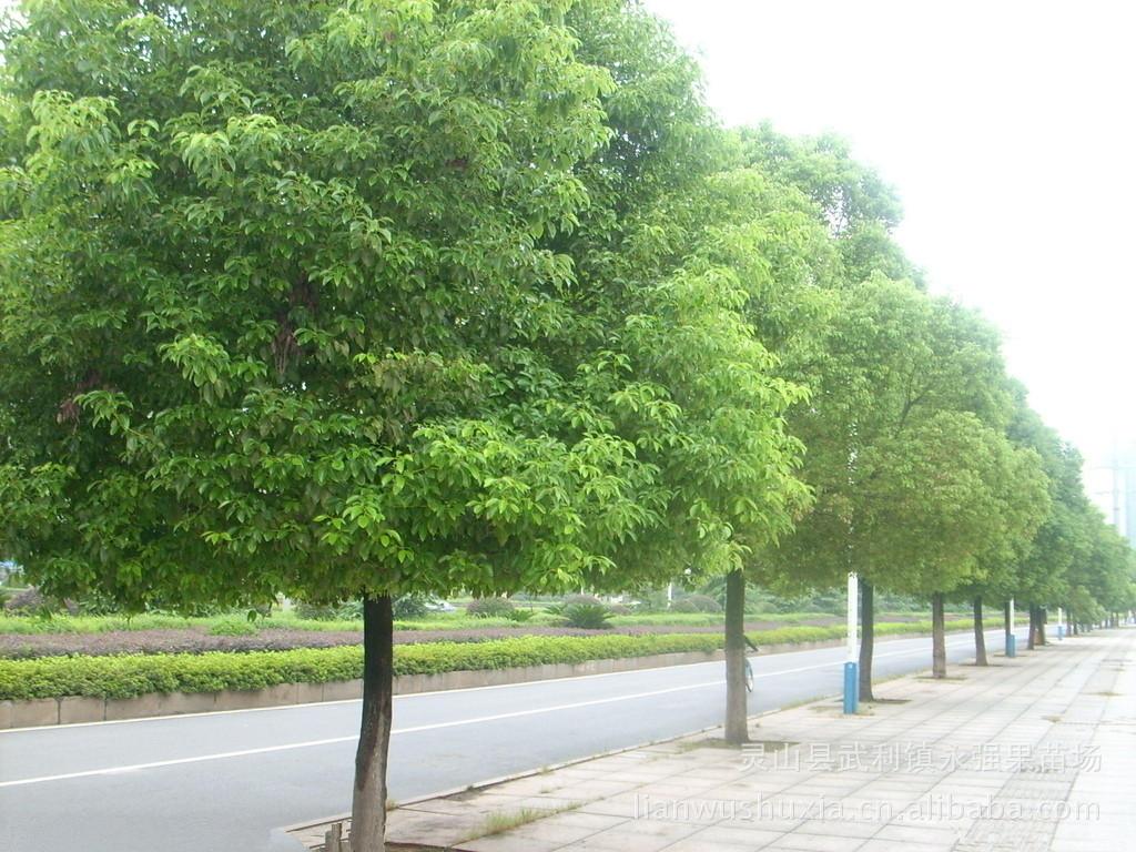 樟树ppt背景图片下载