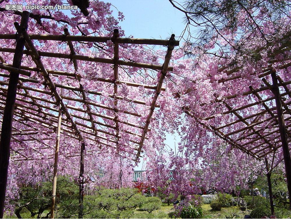 樱花园PPT背景图片免费下载是由PPT宝藏(www.pptbz.com)会员zengmin上传推荐的风景PPT背景图片, 更新时间为2016-12-31,素材编号117150。 樱花园水陆总面积680亩,基础设施总投资2400万元,整个园区由东南大学知名教授规划、设计,是集休闲、娱乐于一体的现代化公园。 水陆总面积680亩,基础设施总投资2400万元,整个园区由东南大学知名教授规划、设计,是集休闲、娱乐于一体的现代化公园。园内栽植各类花木八十余种、九万余株,近十万平方米的草坪使昔日飞沙走石的黄河滩地变成如