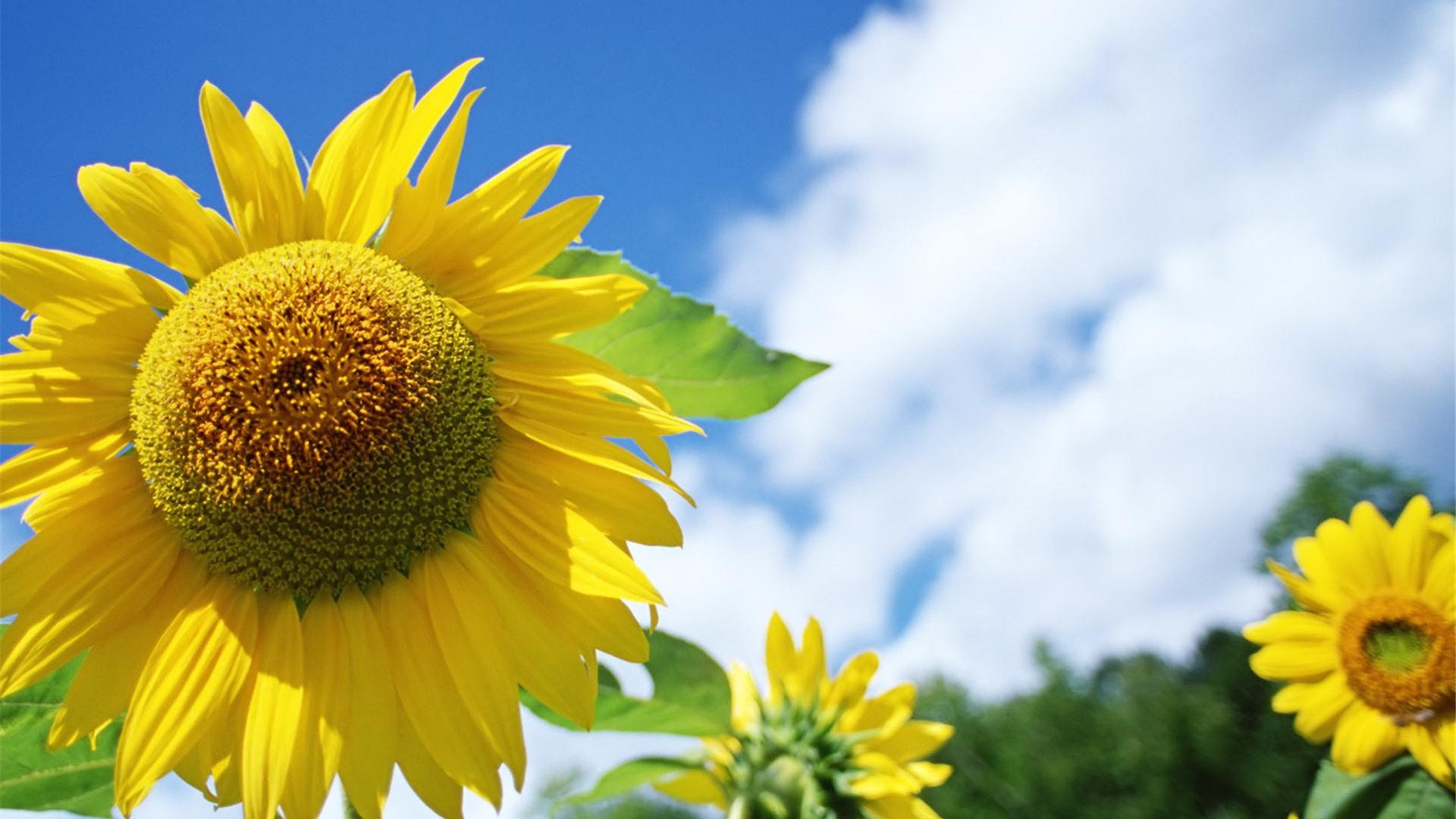 下载_清新植物向日葵ppt背景图片下载
