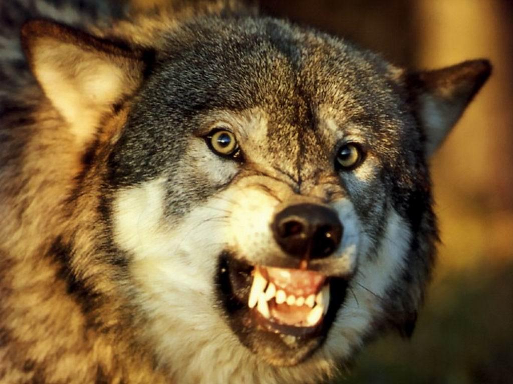 狼PPT背景图片免费下载是由PPT宝藏(www.pptbz.com)会员耳边情话上传推荐的物体PPT背景图片, 更新时间为2016-10-10,素材编号105349。 这是狼PPT背景图片,包括了狼概述,栖息,分类,狼的种群,狼的进化,狼的分布,狼的群居性,狼的生理特性,狼群繁殖,种群现状,艺术作品中的狼,狼的成语,谚语,歇后语,作者简介,朗读正音,字正腔圆,读准停顿,疏通大意,理清故事情节,合作探究,启示,课后练习,狼的十大处事哲学,课外拓展,推荐作品等内容,欢迎点击下载。 谁 知道有关狼的故事? *