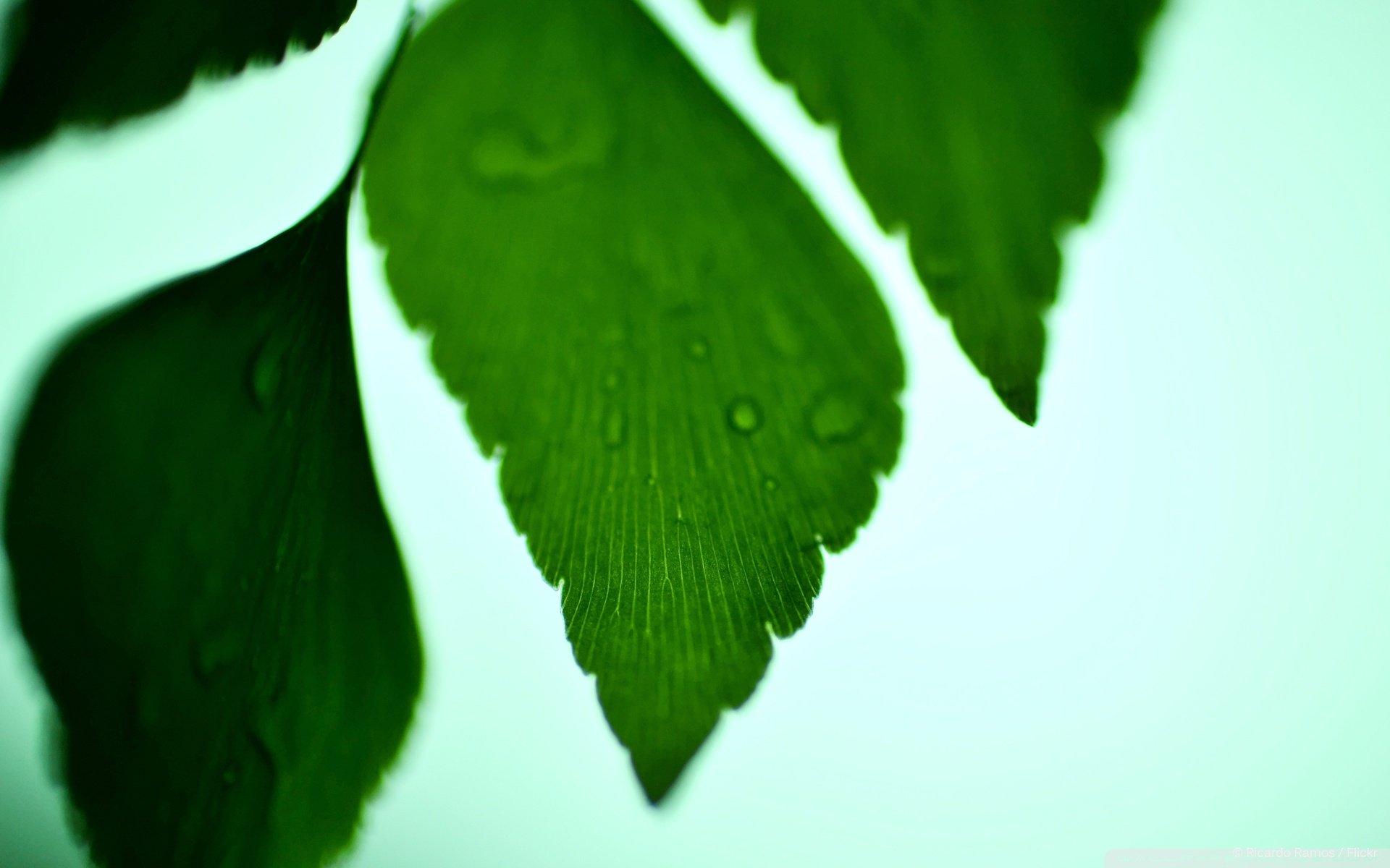精选绿色护眼的小清新银杏叶子ppt背景图片下载