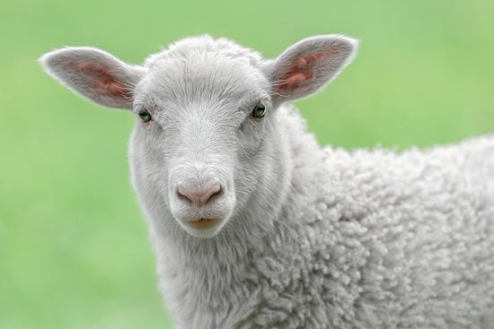 绵羊ppt背景图片下载